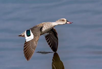 Cape teal duck in Flight Cape Town  : Canon EOS 7D Mark II / 400mm Lens