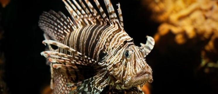3 Mahasiswa UI Temukan Obat Kanker Payudara, Dari Racun Duri Lionfish