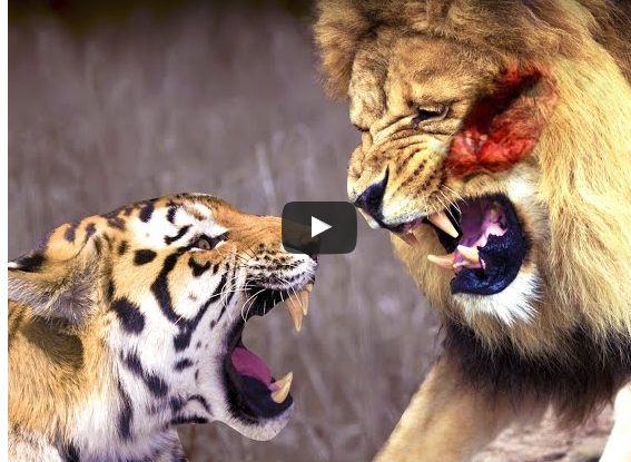 Amazing Video Lion Vs Tiger Real Fight To Death Click To Watch It Wisdom