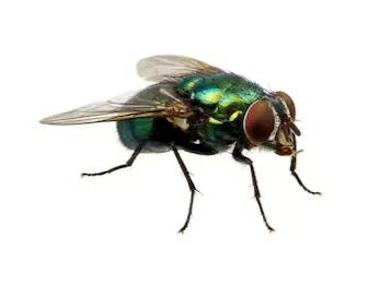घरेलू मक्खी से होने वाले रोग