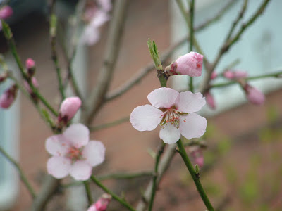 Photo of almond flowers on bare branches