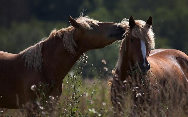 Twee bruine paarden