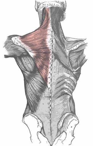 Músculo trapecio remarcado