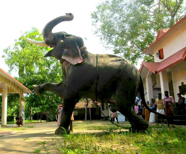 Male ♂ Asian elephant (Elephas maximus) Vishnu Sankar at Sasidhar C S