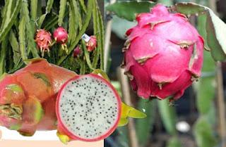 tabulampot buah naga