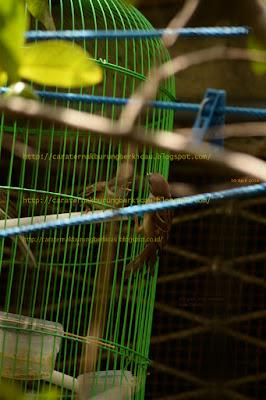 Tips Merawat Piyik Burung Gereja Hasil Temuan