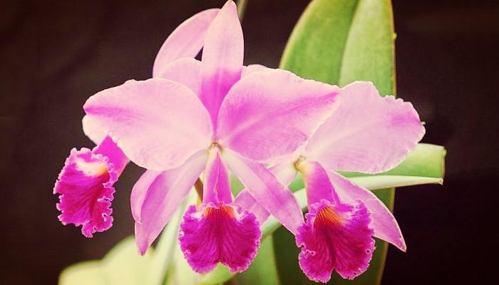 Las bellas orquídea