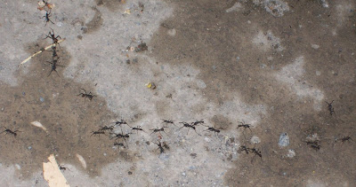 army ants nature tours Nicaragua