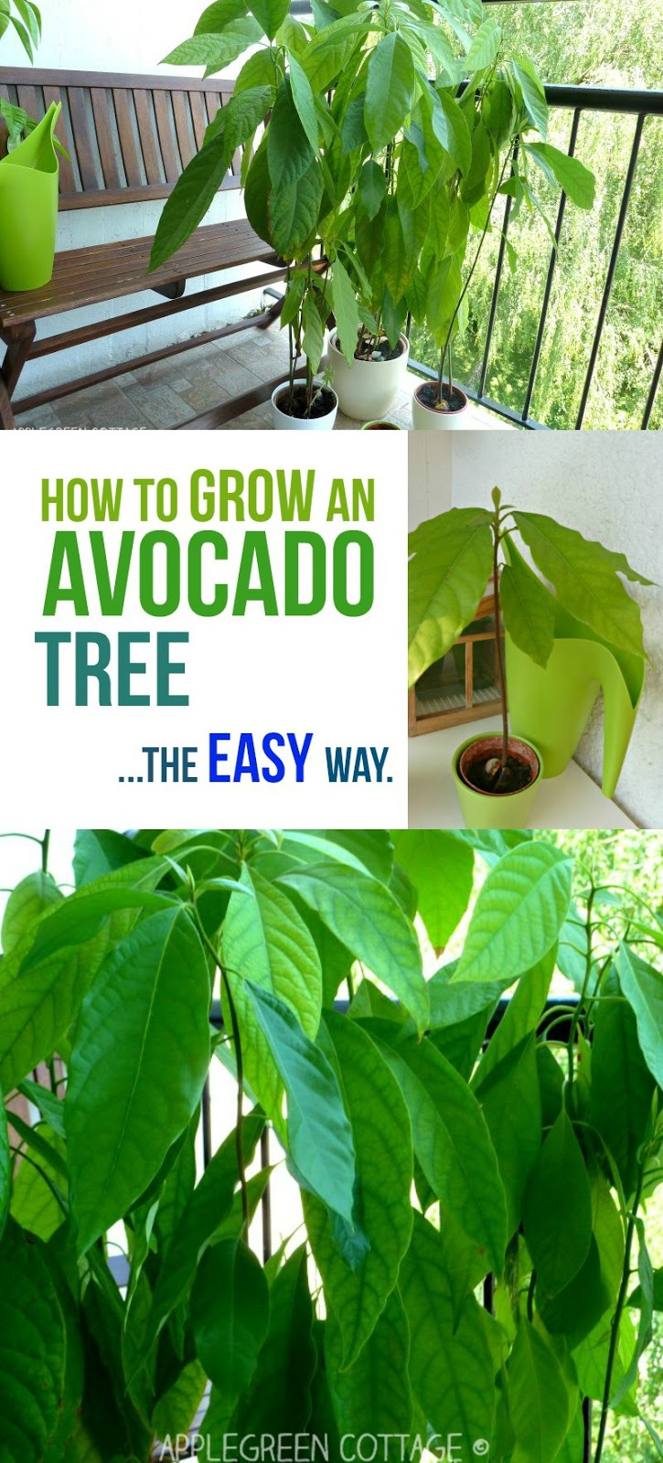 How to grow an avocado tree the easy way applegreen for How do you grow an avocado seed
