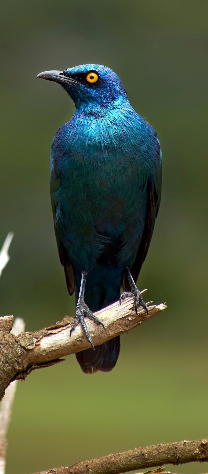 Beautiful glossy starling.