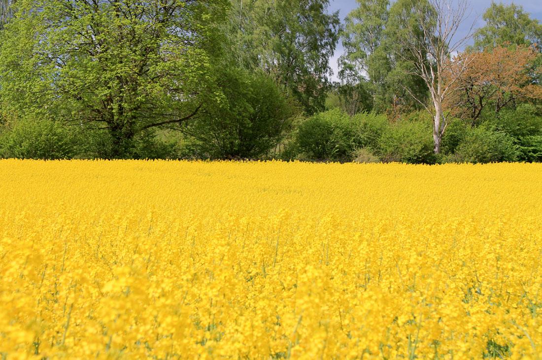 Campo di colza in fiore in Scania