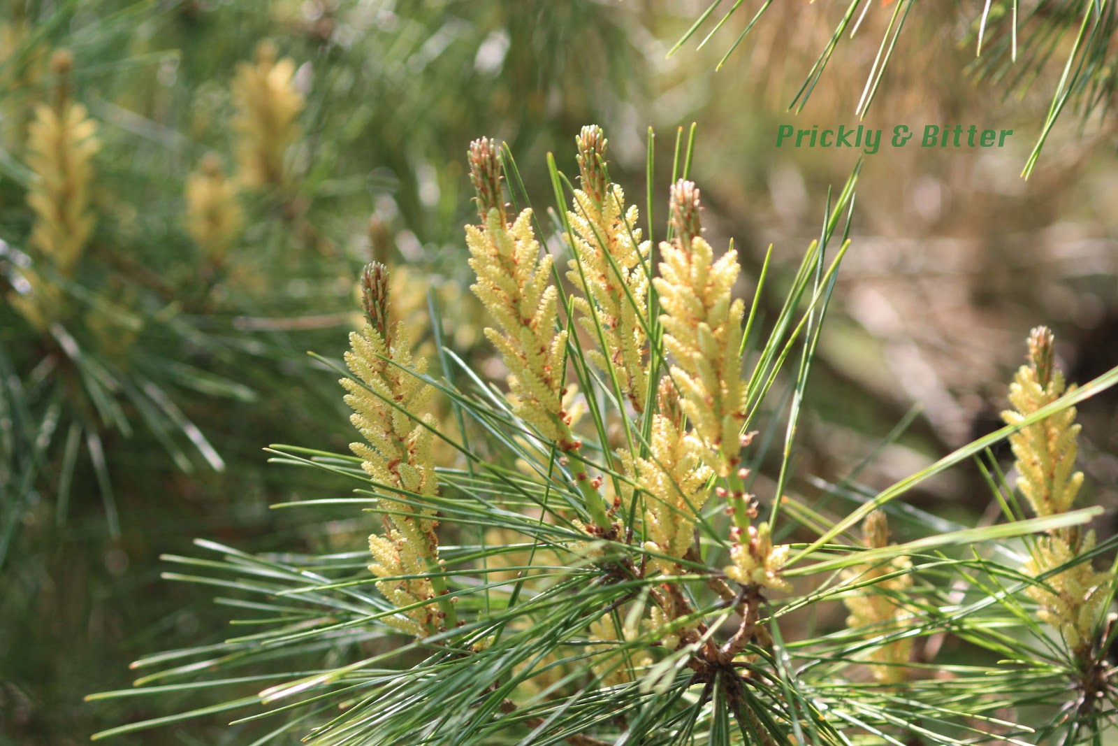 Prickly and Bitter: Eastern White Pine: Ontario's ...
