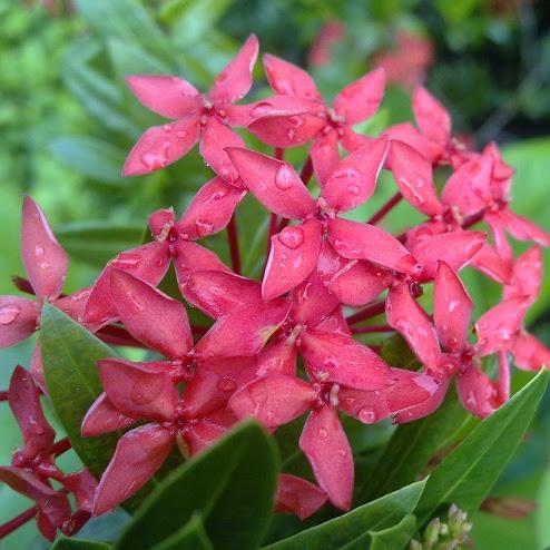 Bunga Asoka : Karakteristik, Cara Menanam Dan Perawatannya