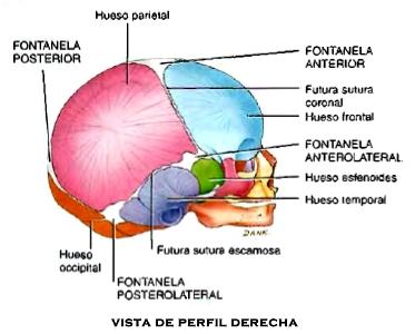 Anatomía cráneo fontanelas