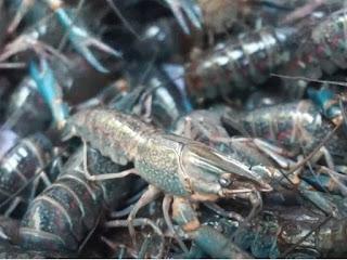 budidaya lobster air tawar