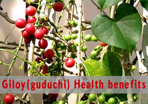 Giloy Amazing Health Benefits and Side Effects