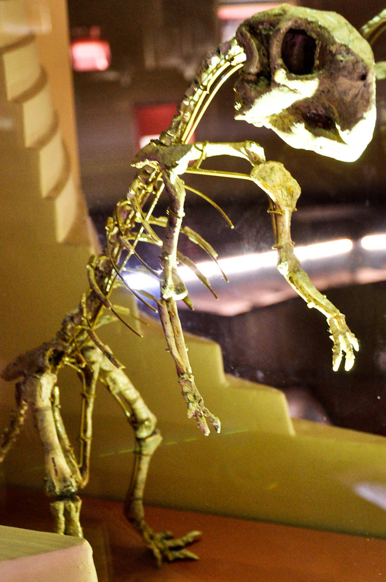 The skeleton of a tiny dinosaur, Natural History Museum, Venice, Italy