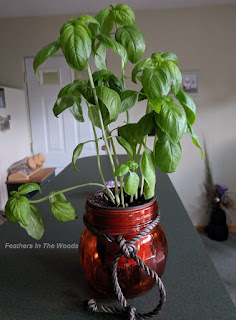 Basil plant growing in a pot on the counter indoors