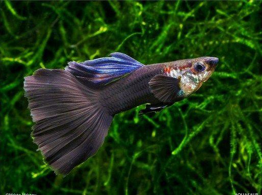 Gambar Ikan Guppy dan Nama nama ikan hias