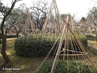 Winter rope protections for large shrubs - Kenroku-en Garden, Kanazawa, Japan