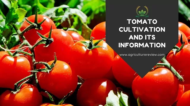 Tomato cultivation by agriculture review