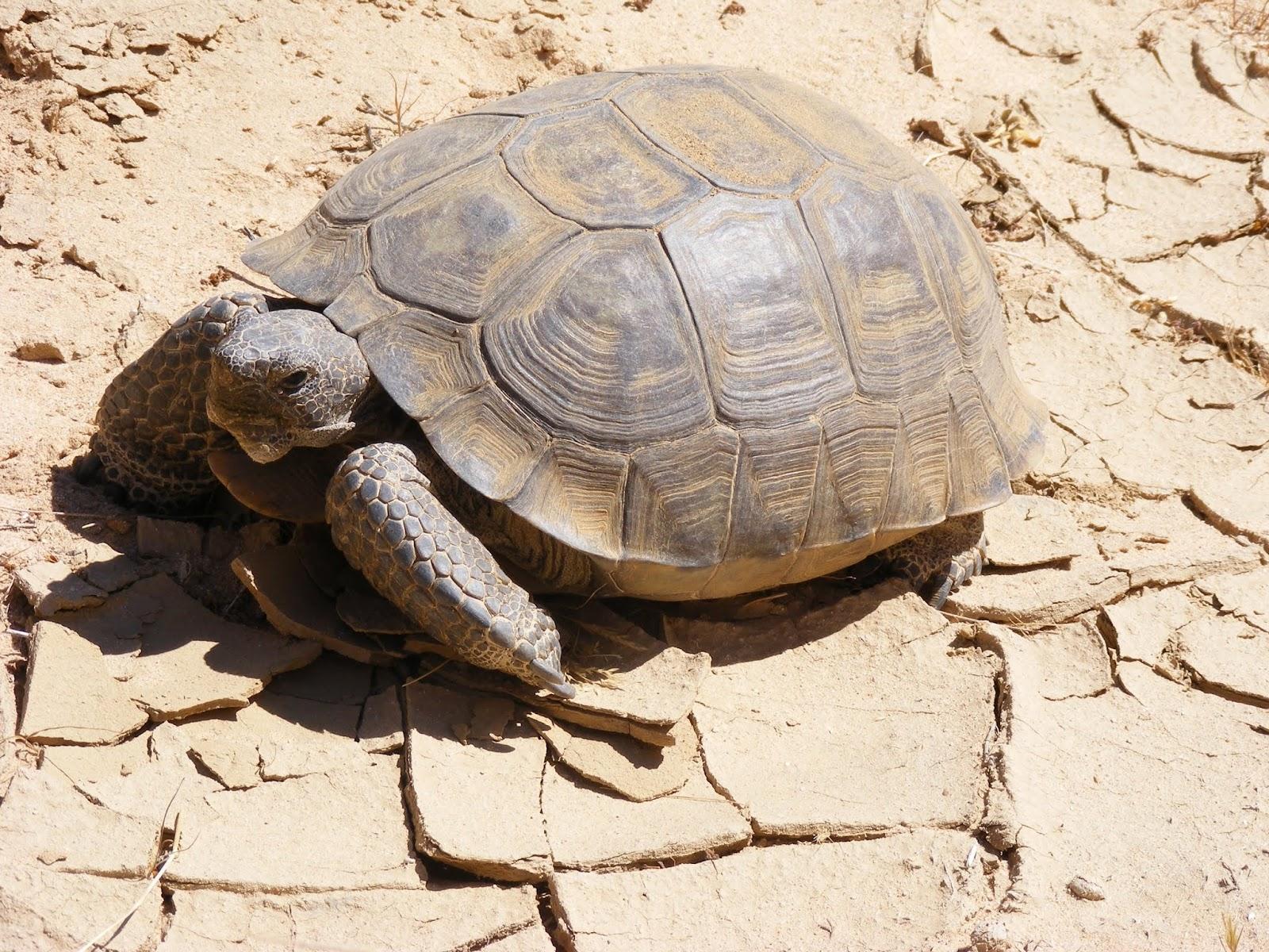 Jenis Kura – Kura Desert Tortoise