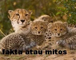 https://faktaataumitosyo.blogspot.com/2018/05/fakta-atau-mitos-cheetah-adalah-binatang-darat-tercepat-didunia.html