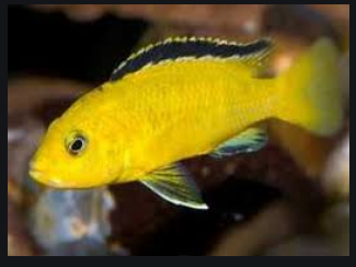 budidaya ikan lemon