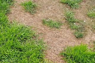 brzydki trawnik