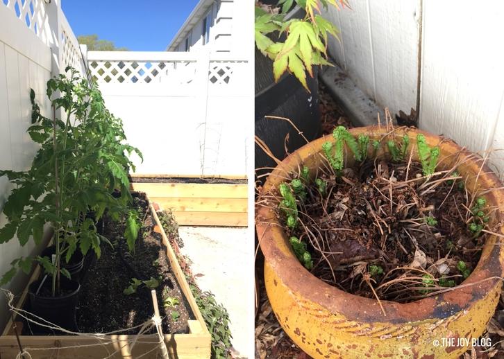 Tomato plants, and ostrich fern fiddleheads / www.thejoyblog.net