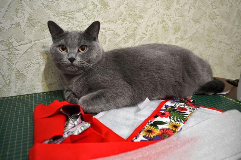 кошки, кот, британская короткошерстная порода