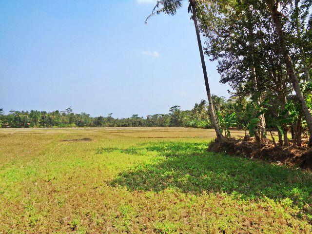 Pemandangan Sawah Tepi Desa, Pohon Kelapa, dan Langit Biru