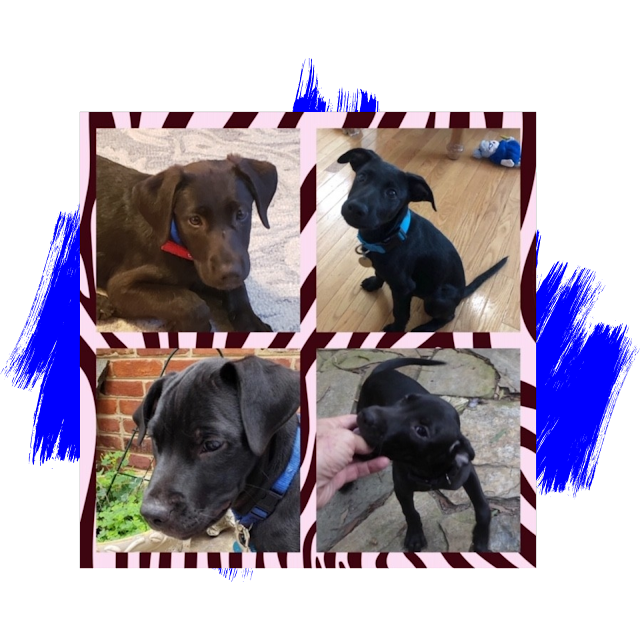 Labrador Retriever Puppies Adoption