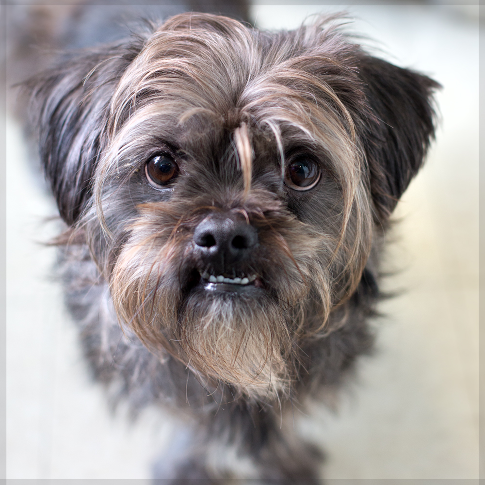 Yorkie Poo - The Cutest and Adorable Mix of Yorkie and ...  |Yorkie Poodle