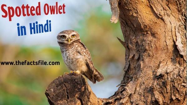 जाने भारत के सबसे दुर्लभ पक्षी चित्तीदार उल्लू के बारे में,Information and Facts about Forest Spotted Owlet in Hindi