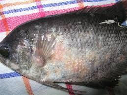 obatkan gurame jamuran, daun johar untuk ikan gurame, penyebab ikan gurame mati mendadak, penyakit ikan gurame mata bengkak, obat ikan gurame stres, penyakit ikan gurame mata belo, penyebab ikan gurame jamuran, obat ikan gurame yang sakit kesehatan