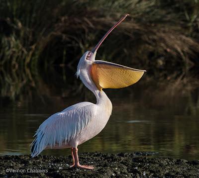 Eastern White Pelican Diep Rivier Milnerton / Woodbridge Island