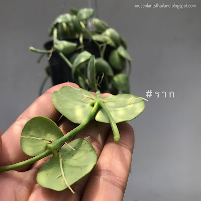 ต้นเดฟหูช้าง Dischidia Platyphylla