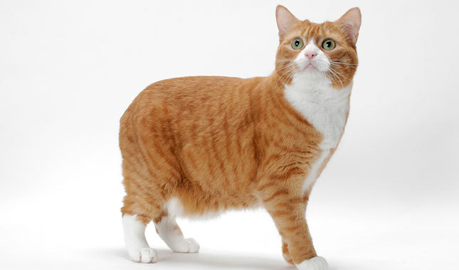 Download 97+  Gambar Kucing Ekor Pendek Terlihat Keren Gratis