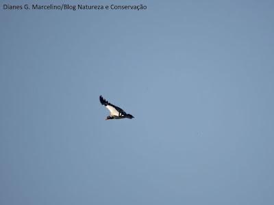 Urubu limpa a natureza, por que devemos preservar os pássaros, por que devemos preservar as aves, não caçar os pássaros, aves, birds, natureza, ornitologia, biologia, meio ambiente