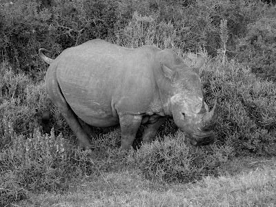 South Africa, Kruger National Park, Rhino Poaching, Save The Rhinos, black white