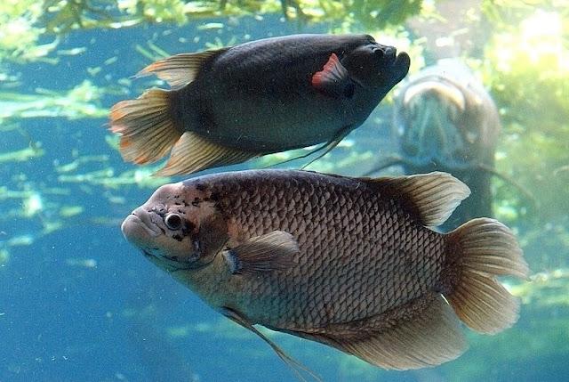 Budidaya Ikan Gurame - Budidaya Ikan