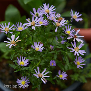 Bush Daisies light violet color in our home garden