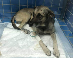 Cachorro sobrevive após ser brutalmente arrastado na zona rural de Apodi