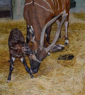 Bongo oriental recién nacido en Bioparc Valencia 2020