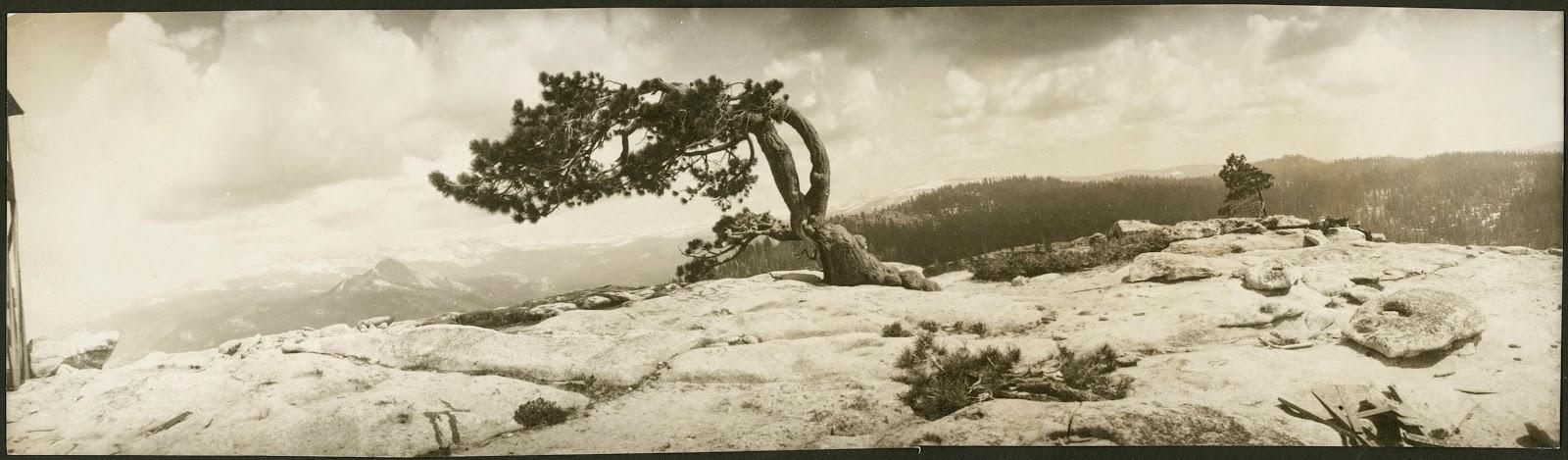 Orotone of Jeffrey's Pine on Sentinel Dome, Yosemite.