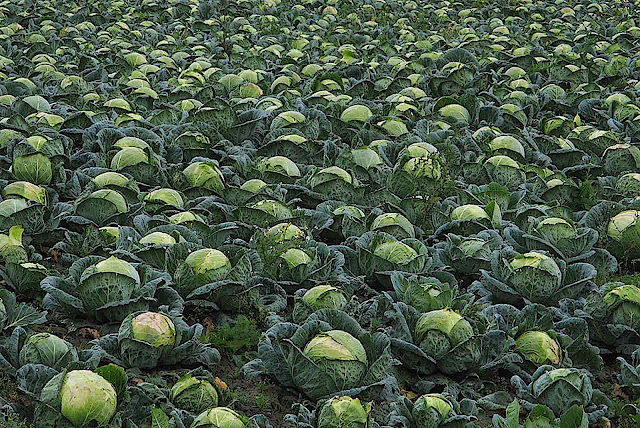 Dirk Ingo Franke, a photograph of cabbages in a field