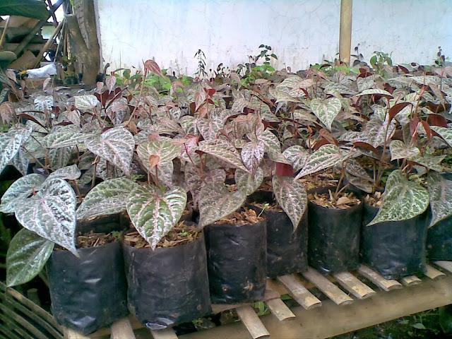 Manfaat dan Khasiat Daun Sirih Merah Untuk Kesehatan, manfaat daun sirih merah, khasiat daun sirih merah, manfaat daun sirih, khasiat daun sirih, daun sirih , daun sirih merah, sirih merah