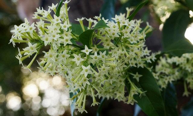 Jenis bunga Melati Arum Dalu
