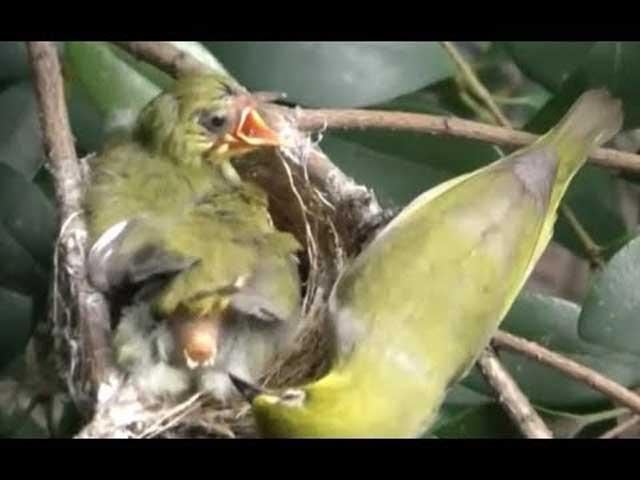 Bayi Burung Membuang Tinja untuk Dimakan oleh Induknya